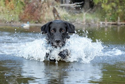 Nestlé Purina a global leader in pet care, was awarded the Ducks Unlimited Corporate Conservation Achievement Award at this year's first-ever virtual Ducks Unlimited National Convention.