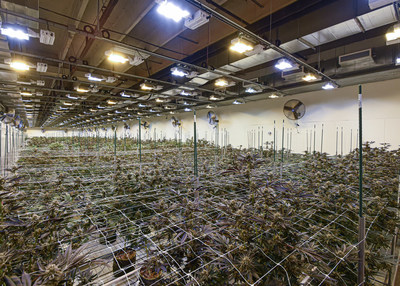 A Stability Cannabis flowering room in in full bloom.